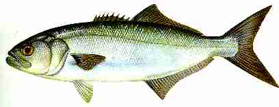 Bluefish.JPG (6740 bytes)
